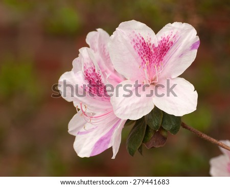 Close up of pink azalea flowers, ericaceae, isolated against background