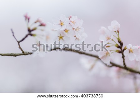 close-up of pink cherry blossom on branch - stock photo
