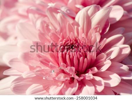 Close up of pink chrysanthemum flower. - stock photo
