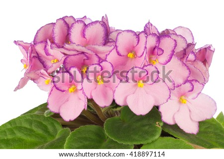 Close up of pink colored African Violets flowers - stock photo