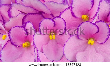 Close up of pink colored African Violets flowers