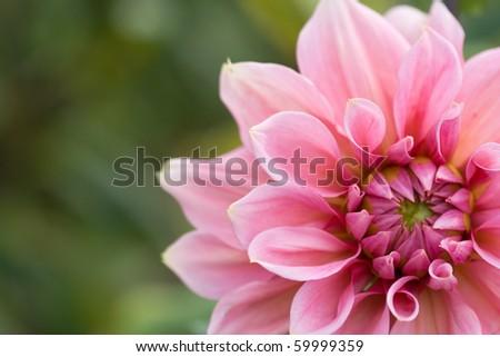 Close-up of pink dahlia - stock photo