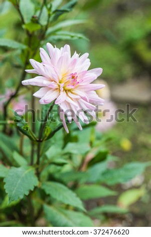 Close Up of Pink Dahlia Flower, Thailand. - stock photo