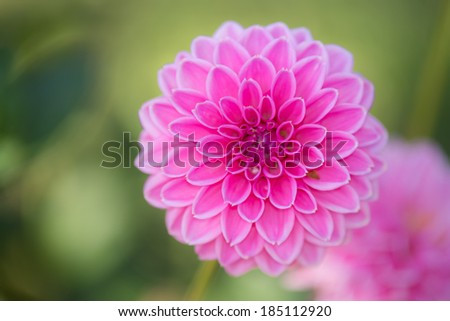 Close up of Pink Dahlia flowers on blurry background - stock photo