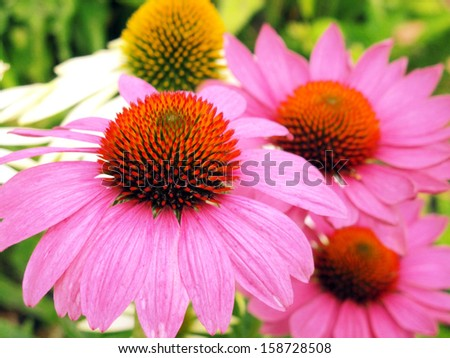 close-up of pink echinacea flowers in a flower bed                   - stock photo