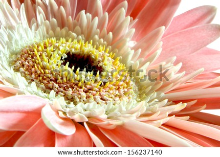 Close up of pink flower gerbera - stock photo