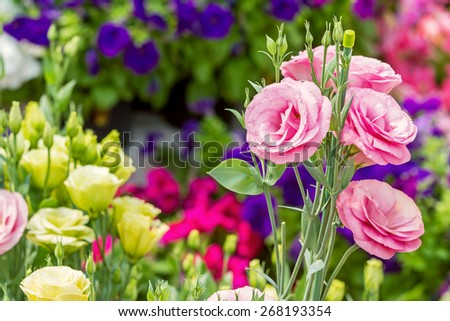Close up of pink flowering lisianthus or eustoma plants blossom in flower garden - stock photo