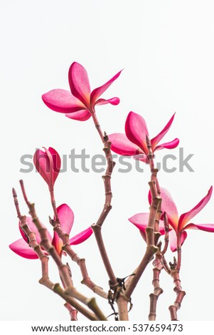 Close up of pink Frangipani flower, Thailand.
