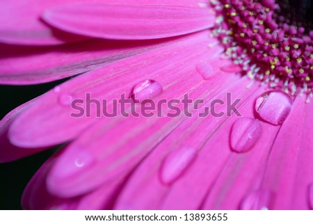 close up of pink Gerbera daisy with water drops