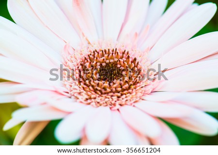 Close Up of Pink Gerbera in Park, Thailand. - stock photo