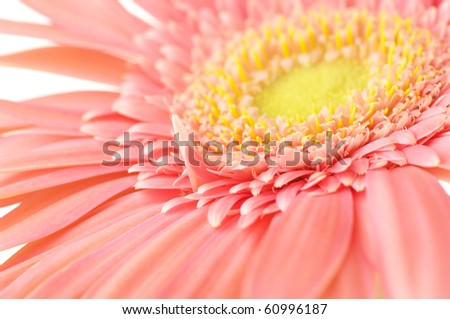 Close-up of pink gerbera on white background.