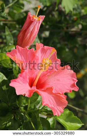 Close up of pink Hibiscus flower - stock photo
