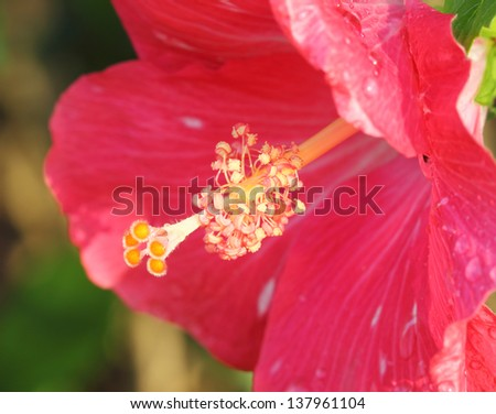 close-up of pink hibiscus flower pollen