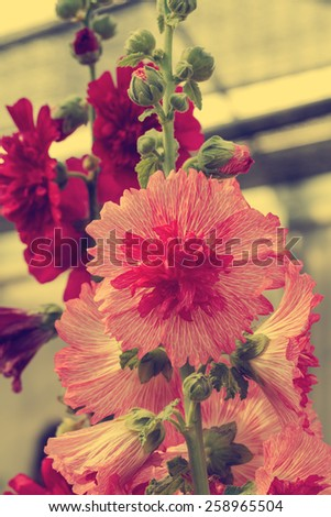 Close up of pink hollyhock spring celebrity blossom in flower garden - Vintage effect style pictures - stock photo