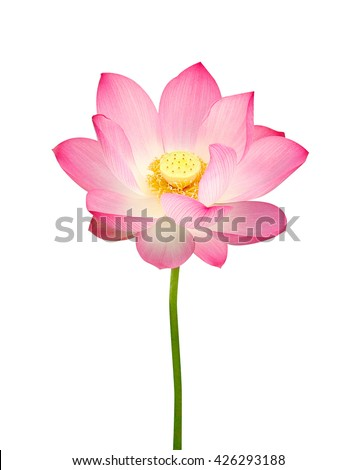 Close up of pink lotus isolated on white background, Clipping path included.