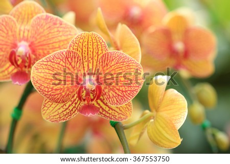 Close-up of pink orchid phalaenopsis. Bouquet of flowers orchids. - stock photo