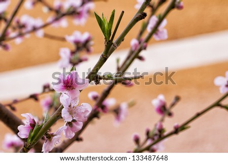 Close up of pink peach flowers from a tree