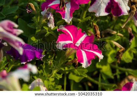 Close-Up Of Pink,Purple,Red And White  Petunai Flowers Blooming Outdoors.