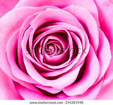 Close up of pink rose petals. - stock photo