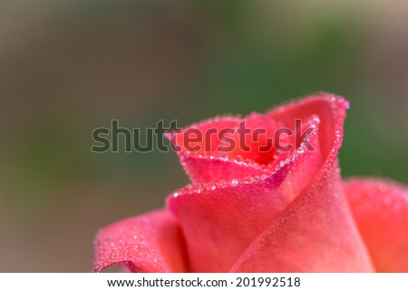 close-up of pink rose with water drops (shallow DOF) - stock photo