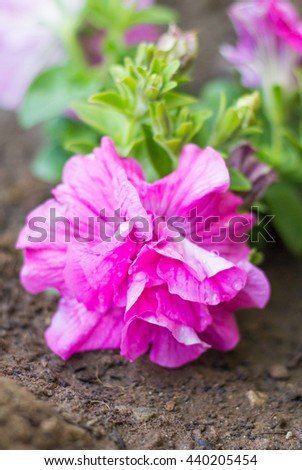 Close up of pink Tumbelina Petunia flower