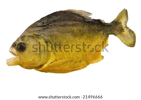 Close-up of piranha, carnivore fish indigenous of South America