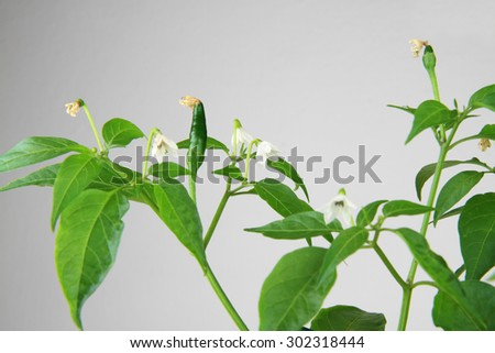 Close up of plant with chilly peppers and blossom. - stock photo