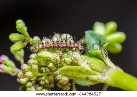 Close up of plume moth (Pterophoridae) caterpillar on its host plant in nature