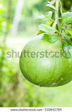 Close up of Pomelo fruit hanging on the tree