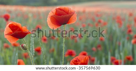 Close up of poppies in a poppy field