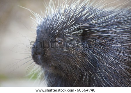 Close-up of porcupine at Kroscel Films Wildlife Center, in Skagway, Alaska