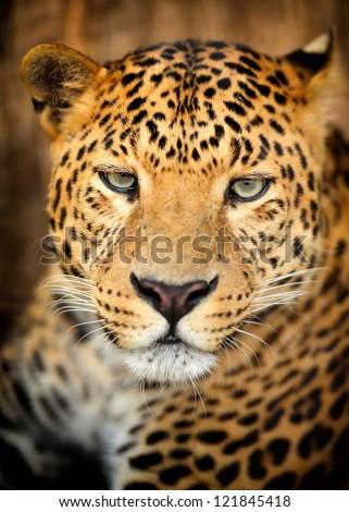 Close-up of portrait leopard - stock photo