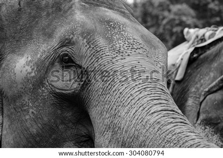 Close up of portrait of an asian elephant in black and white.