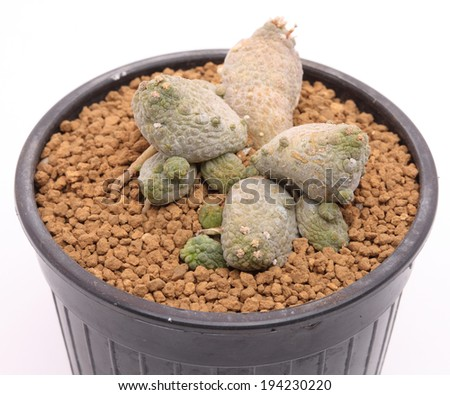 Close up of pseudolithos cactus in a pot.  - stock photo