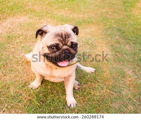 Close-up of Pug on the grass