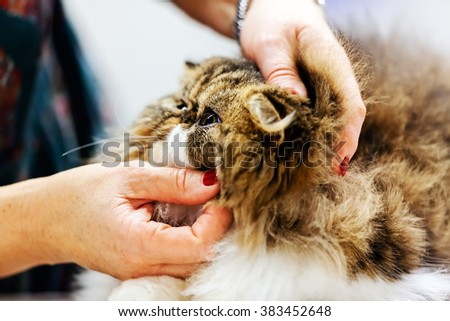 Close up of pure breed cat at pet show
