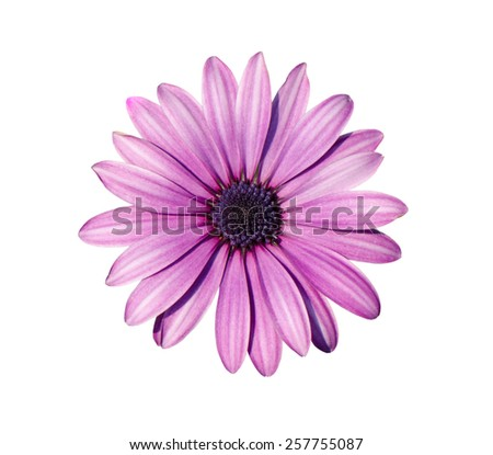 Close up of purple chrysanthemum flower isolated on white background.
