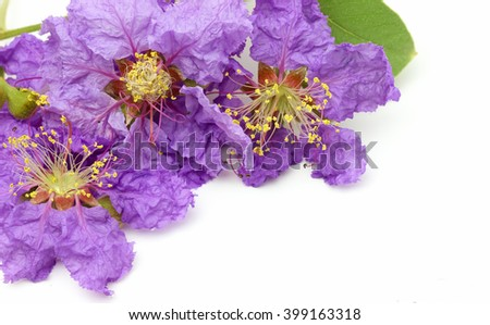 Close up of Purple flower name Inthanin or Lagerstroemia macrocarpa. - stock photo