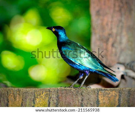 Close up of Purple Glossy Starling (lamprotornis purpureus), selective focus.  - stock photo