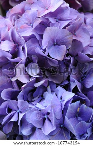 Close up of purple hydrangea macrophylla - stock photo