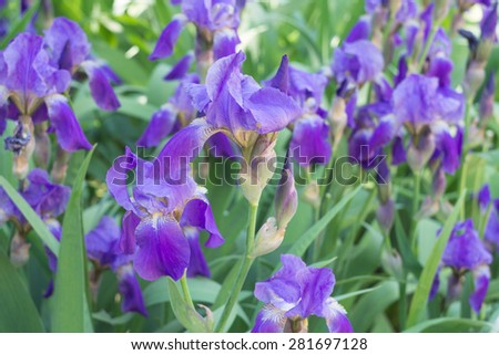 close up of purple iris flowers. Iris blooming in summertime. - stock photo