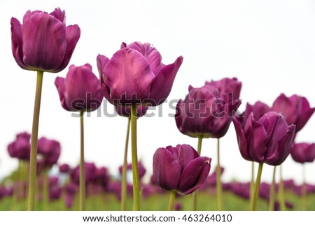 Close-up of purple tulips from below in a field of orange tulips against a bright sky