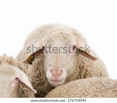 Close up of ram head looking at camera - stock photo
