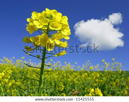 close-up of rapeseed in bloom - stock photo