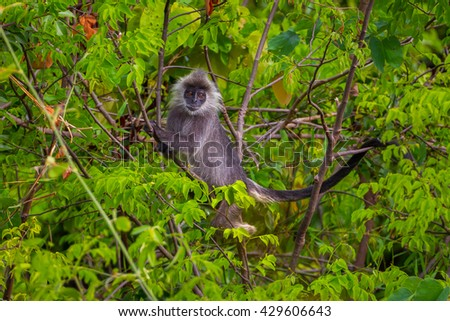 Close up of Rare Silvered Langur (Presbytis cristatus )  in real nature in Thailand