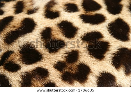 close up of real leopard fur for backgrounds