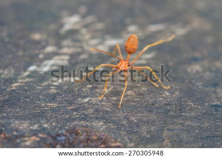 close up of red ant on wooden - stock photo
