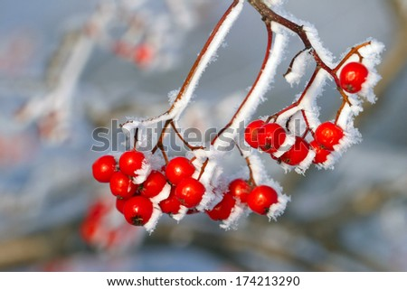 close-up of red berries of viburnum and rowan in the winter frost frosty morning - stock photo