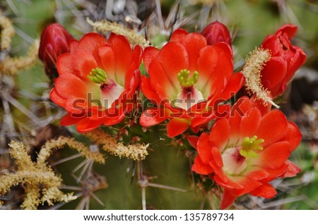 Close-up of red blooms on a saguaro cactus in a meadow. - stock photo