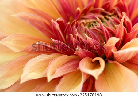Close-up of red chrysanthemum flower. Abstract blossom background. Soft focus, shallow DOF. - stock photo